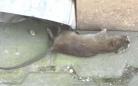 В центре Караганды очевидцы сфотографировали дохлую крысу