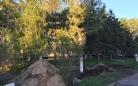 В Караганде пересадили многолетнюю лиственницу