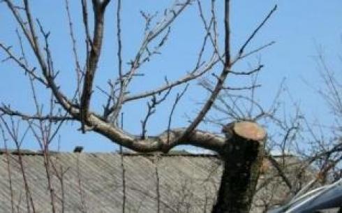 В Караганде должны обрезать деревья  до распускания почек