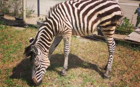 Впервые в зоопарке Караганды появилась зебра