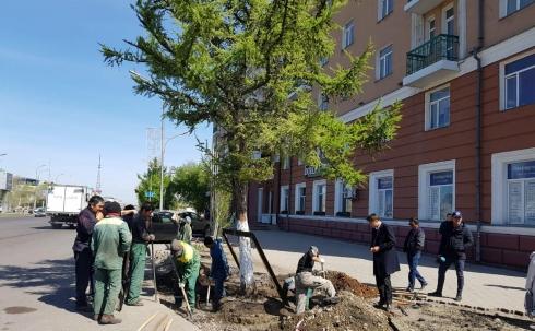 В Караганде впервые пересадят многолетнее дерево