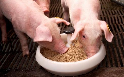 Откорм свиней комбикормами