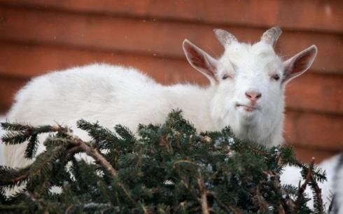 Зоопарк Караганды будет принимать живые новогодние ёлки