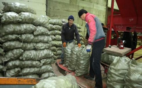 Карагандинские картофелеводы не предвидят роста цен на свою продукцию