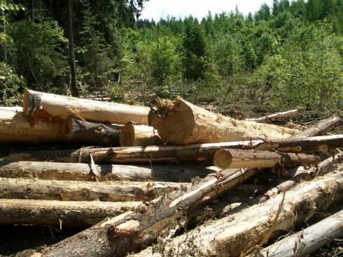 Вырубка угрожает лесу из-за строительства дороги в Карагандинской области