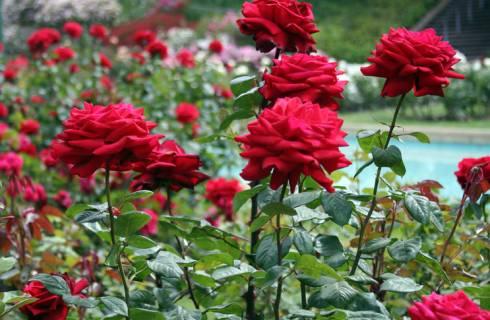 В Караганде будут сажать розы