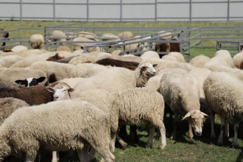 Овцеводческую мегаферму планируют построить в Бухар-Жырауском районе